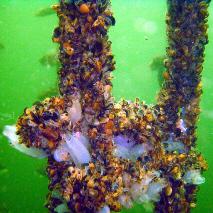 Mussel Peg
